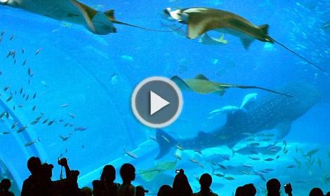 acquario,okinawa,churaumi aquarium,giappone