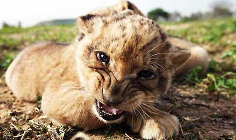 cucciolo-leonesssa-470.jpg